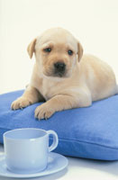 青いクッションの上のラブラドールレトリバーとコーヒーカップ 21003001862| 写真素材・ストックフォト・画像・イラスト素材|アマナイメージズ