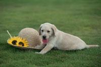 芝生の上のラブラドールレトリバーと帽子