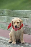 ベンチの上の赤いバンダナを巻いたラブラドールレトリバー 21003001889| 写真素材・ストックフォト・画像・イラスト素材|アマナイメージズ