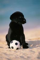 ビーチのラブラドールレトリバーとサッカーボール 21003001896A| 写真素材・ストックフォト・画像・イラスト素材|アマナイメージズ