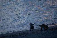 波打ち際の2匹のラブラドールレトリバー 21003001900| 写真素材・ストックフォト・画像・イラスト素材|アマナイメージズ