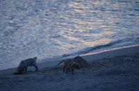 波打ち際の2匹のラブラドールレトリバー 21003001901| 写真素材・ストックフォト・画像・イラスト素材|アマナイメージズ