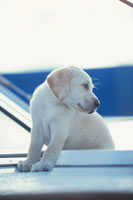 ヨットに乗るラブラドールレトリバー 21003001904| 写真素材・ストックフォト・画像・イラスト素材|アマナイメージズ