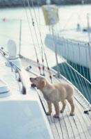 ヨットに乗るラブラドールレトリバー 21003001905| 写真素材・ストックフォト・画像・イラスト素材|アマナイメージズ