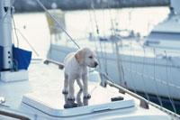 ヨットに乗るラブラドールレトリバー 21003001906| 写真素材・ストックフォト・画像・イラスト素材|アマナイメージズ