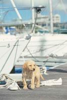 マリーナのラブラドールレトリバーとスニーカー 21003001907| 写真素材・ストックフォト・画像・イラスト素材|アマナイメージズ