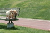 ベンチの上の2匹のラブラドールレトリバー 21003001912| 写真素材・ストックフォト・画像・イラスト素材|アマナイメージズ