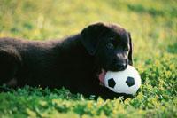 芝生の上のサッカーボールをかじるラブラドールレトリバー 21003001913| 写真素材・ストックフォト・画像・イラスト素材|アマナイメージズ