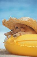 ゴールデンレトリバーと浮き輪と帽子