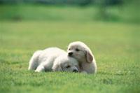 芝生の上の2匹のゴールデンレトリバー