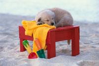 ビーチの赤い台の上で眠るゴールデンレトリバーと黄色いタオル