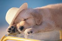 黄色い台の上で帽子をかぶって眠るゴールデンレトリバー