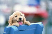 青いベンチの上のゴールデンレトリバー