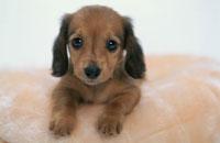 犬(ミニチュアダックスフンド)