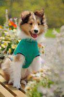 緑の服を着るシェットランドシープドッグと花壇