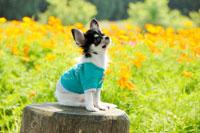 緑の服を着るチワワと花壇