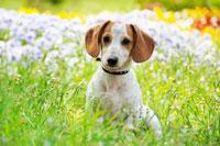 犬と花(雑種) 21003002564G| 写真素材・ストックフォト・画像・イラスト素材|アマナイメージズ