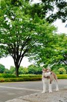 シベリアンハスキーと木 21003002648| 写真素材・ストックフォト・画像・イラスト素材|アマナイメージズ