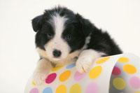 水玉模様の器に手を置く犬(バーニーズマウンテンドッグ)