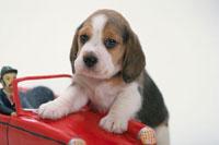 赤いおもちゃの車に手をかける犬(ビーグル)