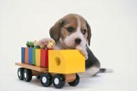 おもちゃに手をかける犬(ビーグル)