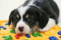 犬(コーギー) 21003002950| 写真素材・ストックフォト・画像・イラスト素材|アマナイメージズ