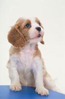 犬(キャバリア) 21003003050| 写真素材・ストックフォト・画像・イラスト素材|アマナイメージズ