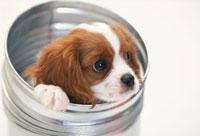 バケツから顔を出す犬(キャバリア) 21003003056| 写真素材・ストックフォト・画像・イラスト素材|アマナイメージズ