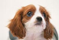 バケツから顔を出す犬(キャバリア)