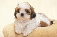 クッションに横たわる犬(シーズー)