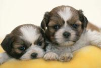 黄色いクッションの上に横たわる2匹の犬(シーズー)