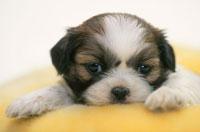 黄色いクッションの上に横たわる犬(シーズー)