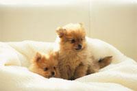 2匹の犬(ポメラニアン)