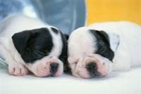 2匹の犬(フレンチブルドッグ)