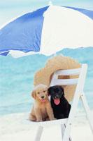 海辺のイスに座る2匹の犬