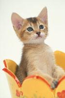 黄色い器に入った猫(アビシニアン)