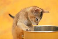 黄色い缶に手を掛けて立つ猫(アビシニアン)
