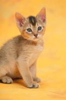 猫(アビシニアン)