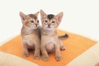寄り添う2匹の猫(アビシニアン)