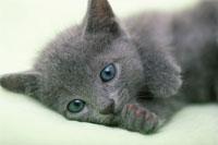 猫(ロシアンブルー) 21003003527| 写真素材・ストックフォト・画像・イラスト素材|アマナイメージズ