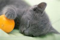 猫(ロシアンブルー) 21003003528| 写真素材・ストックフォト・画像・イラスト素材|アマナイメージズ