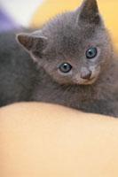 猫(ロシアンブルー) 21003003529| 写真素材・ストックフォト・画像・イラスト素材|アマナイメージズ