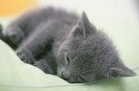 猫(ロシアンブルー) 21003003530| 写真素材・ストックフォト・画像・イラスト素材|アマナイメージズ