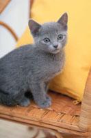 イスの上に座る猫(ロシアンブルー)