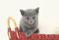 赤いカゴに入った猫(ロシアンブルー)