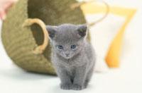 黄緑色のカゴと猫(ロシアンブルー)