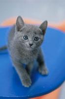 猫(ロシアンブルー) 21003003535| 写真素材・ストックフォト・画像・イラスト素材|アマナイメージズ