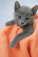 猫(ロシアンブルー)