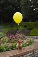 花壇のそばに座る犬(ミニチュアダックスフンド)と黄色い風船