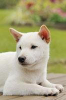 犬(柴犬)